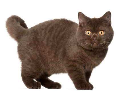 british shorthair: British shorthair cat, kitten, 4 months old, standing in front of white background