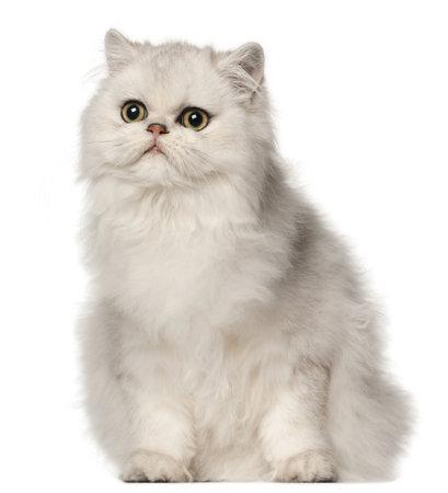 furry animals: Gato persa, sentado delante de fondo blanco Foto de archivo
