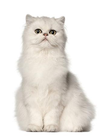 Gatto persiano, seduto di fronte a sfondo bianco