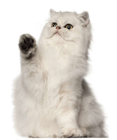 Persian cat, sitting in front of white background photo
