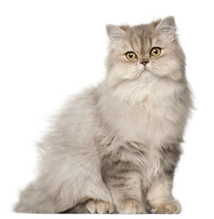 alertness: Persian cat, sitting in front of white background Stock Photo