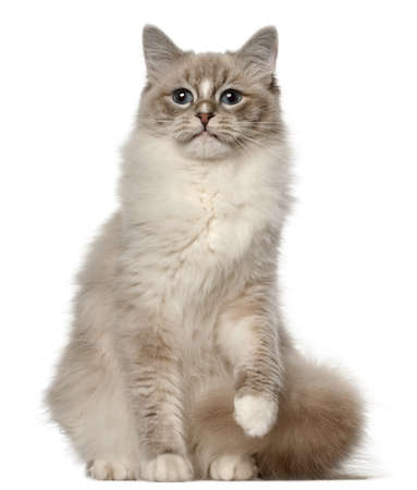 ragdoll: Ragdoll cat, 1 year old, sitting in front of white background