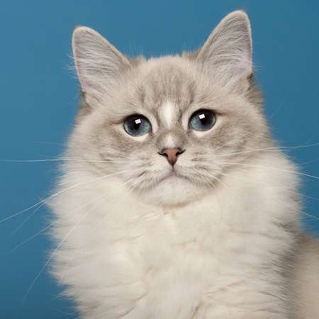 Ragdoll cat, 1 year old, in front of blue background photo