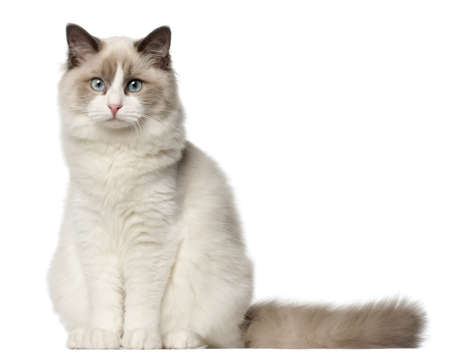 portrait view: Ragdoll cat, 6 months old, sitting in front of white background