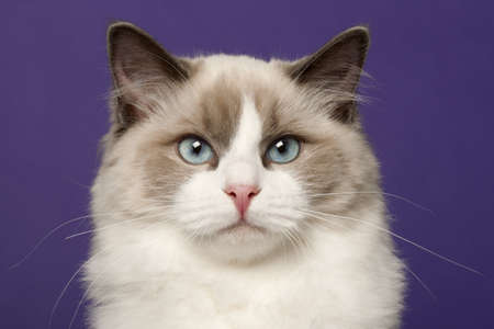 Ragdoll cat, 6 months old, in front of purple background photo
