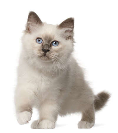 birman kitten: Birman kitten, 3 months old, standing in front of white background Stock Photo