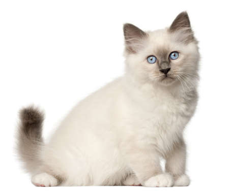 birman kitten: Birman kitten, 3 months old, sitting in front of white background