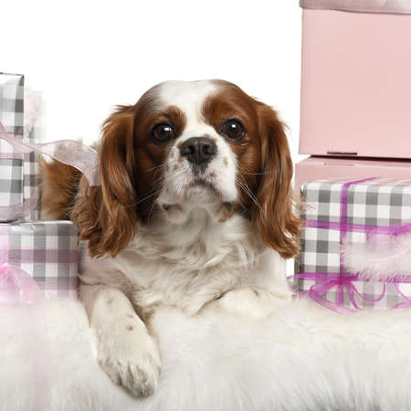 Cavalier King Charles Spaniel, lying with Christmas gifts in front of white background photo