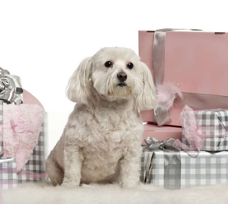 Maltese dog sitting with Christmas gifts in front of white background photo