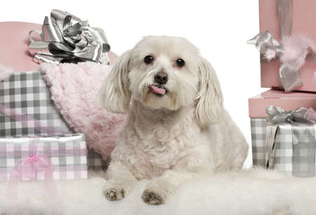 Maltese dog lying with Christmas gifts in front of white background photo