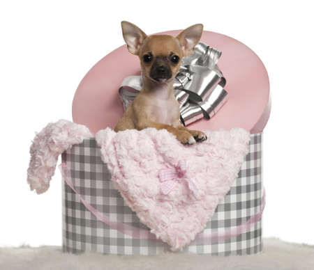 Chihuahua puppy, 3 months old, with Christmas gifts in front of white background photo
