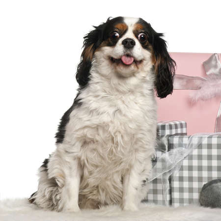 Cavalier king Charles sitting with Christmas gifts in front of white background photo