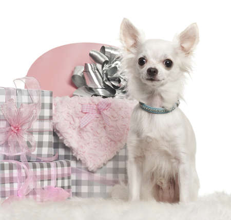 Chihuahua sitting with Christmas gifts in front of white background photo