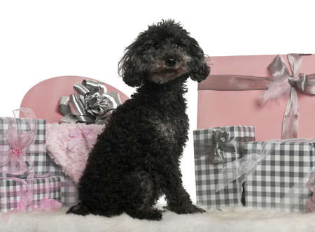Poodle sitting with Christmas gifts in front of white background photo