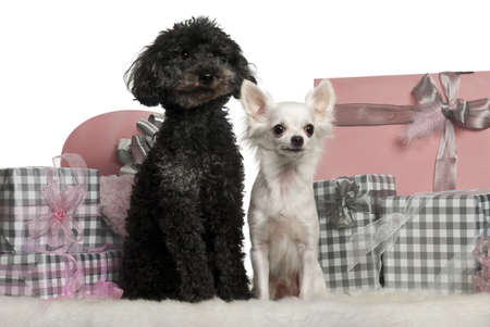 Poodle and a Chihuahua sitting with Christmas gifts in front of white background photo