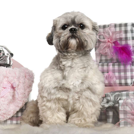 Lhasa Apso, 2 years old, sitting with Christmas gifts in front of white background photo