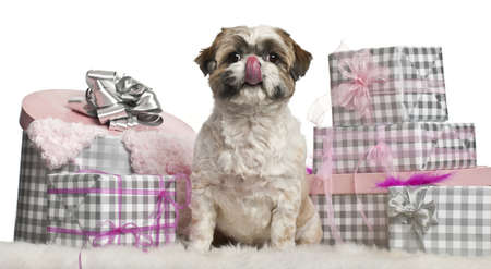 Shih Tzu sitting with Christmas gifts in front of white background photo