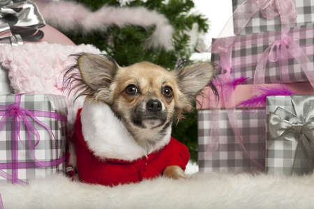 Chihuahua puppy, 4 months old, lying with Christmas gifts in front of white background photo