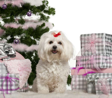 maltese dog: Maltese, 3 years old, sitting with Christmas tree and gifts in front of white background