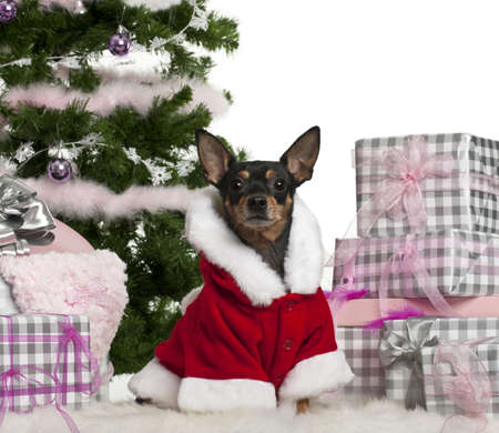Miniature Pinscher, 3 years old, wearing Santa outfit with Christmas gifts in front of white background photo