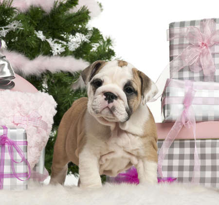 English Bulldog puppy, 2 months old, with Christmas gifts in front of white background photo