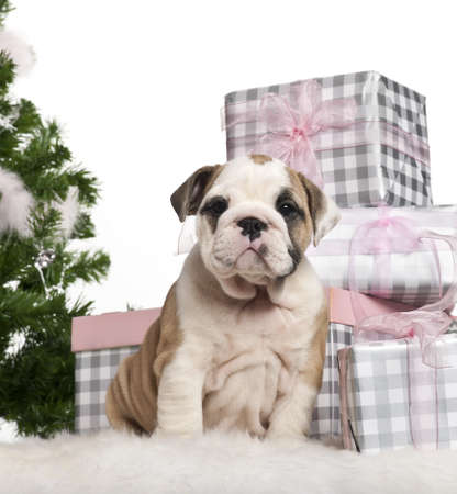 English Bulldog puppy, 2 months old, sitting with Christmas tree and gifts in front of white background photo