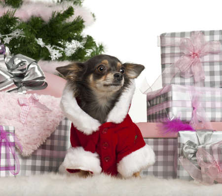 Chihuahua, 1 year old, with Christmas gifts in front of white background photo
