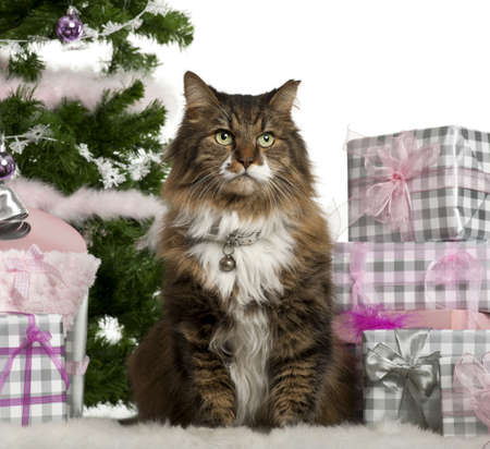 European Shorthair, 11 years old, sitting with Christmas tree and gifts in front of white background photo