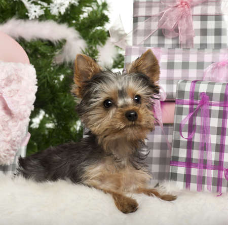 Yorkshire Terrier puppy, 3 months old, lying with Christmas gifts in front of white background photo