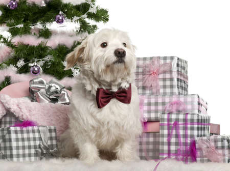 Maltese, 2 years old, sitting with Christmas tree and gifts in front of white background photo