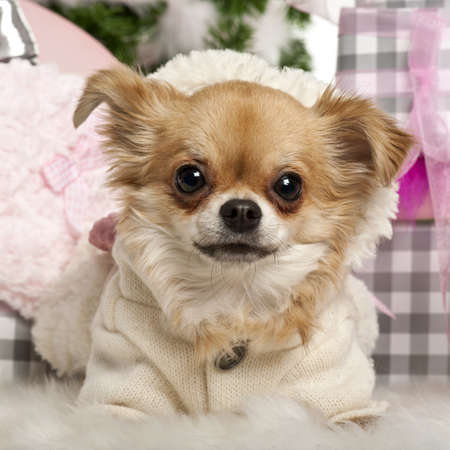 Close-up of Chihuahua, 2 years old, lying in front of Christmas gifts photo