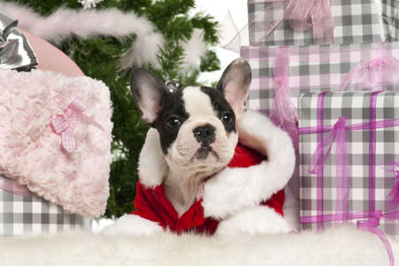 French Bulldog puppy, 13 weeks old, lying with Christmas gifts in front of white background photo