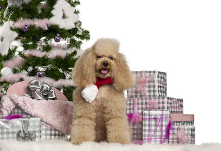 Poodle, 5 years old, sitting with Christmas tree and gifts in front of white background photo