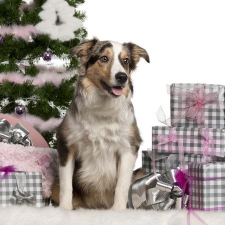 Border Collie cachorros, 6 meses de edad, sentado con el �rbol de Navidad y los regalos delante de fondo blanco Foto de archivo - 11614642