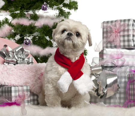 Shih Tzu, 2 years old, sitting with Christmas tree and gifts in front of white background photo