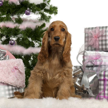english cocker spaniel: English Cocker Spaniel puppy, 5 months old, sitting with Christmas tree and gifts in front of white background Stock Photo