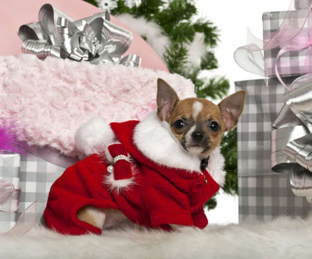 chihuahua 3 months old: Chihuahua puppy, 3 months old, with Christmas gifts in front of white background