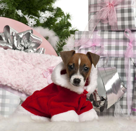 Jack Russell Terrier puppy, 11 weeks old, with Christmas gifts in front of white background photo
