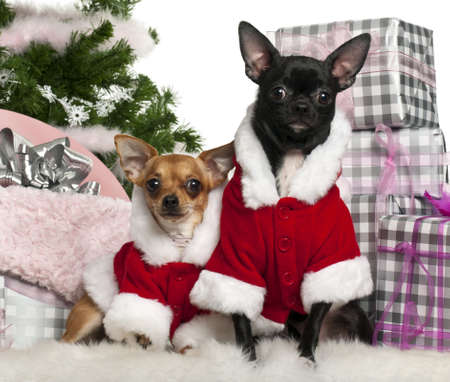Chihuahuas, 18 months old and 1 year old, wearing Santa outfit with Christmas gifts in front of white background photo