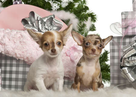 Chihuahua puppy, 4 months old, sitting with Christmas tree and gifts in front of white background photo