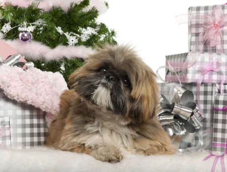Lhasa Apso, 1 year old, lying with Christmas gifts in front of white background photo