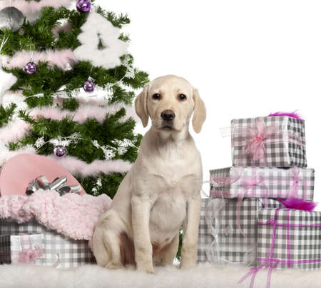 labrador christmas: Labrador Retriever puppy, 3 months old, sitting with Christmas tree and gifts in front of white background