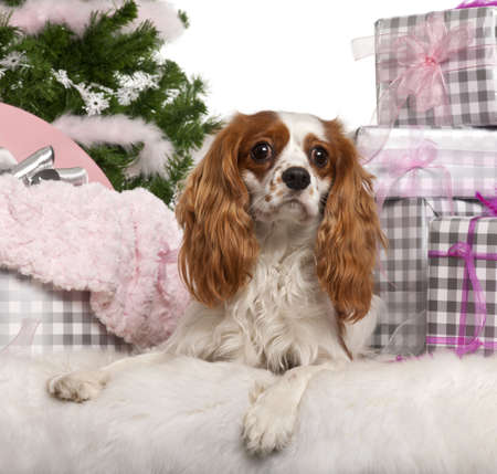 Cavalier King Charles Spaniel, 18 months old, lying with Christmas gifts in front of white background photo