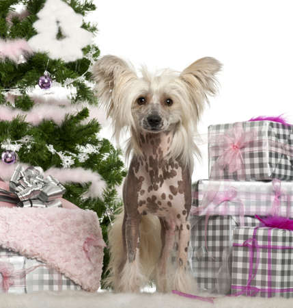 Chinese Crested Dog, 1 year old, with Christmas gifts in front of white background