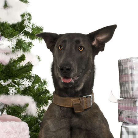 Close-up of Belgian Shepherd Dog, Malinois, 20 months old, with Christmas gifts in front of white background photo