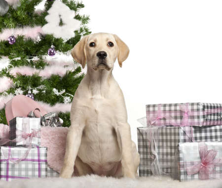 Labrador Retriever puppy, 4 months old, sitting with Christmas tree and gifts in front of white background Stock Photo - 11615254