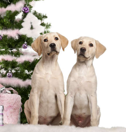 labrador christmas: Labrador Retriever puppy, 4 months old, sitting with Christmas tree and gifts in front of white background