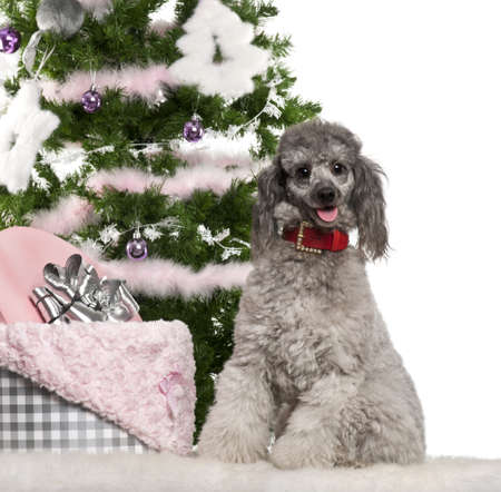 Poodle, 18 months old, sitting with Christmas tree and gifts in front of white background photo