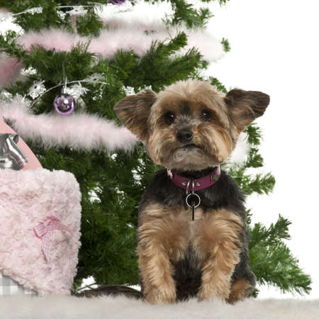 Yorkshire Terrier, 10 years old, sitting with Christmas tree and gifts in front of white background photo
