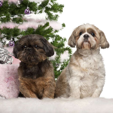 Shih Tzu, 7 years old, Shih Tzu, 10 years old, sitting with Christmas tree and gifts in front of white background photo